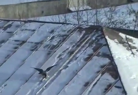 crow-sledding-on-roof